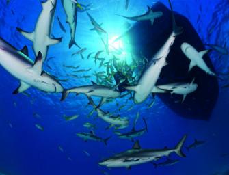 Hai-Society: Tauchen auf den Bahamas
