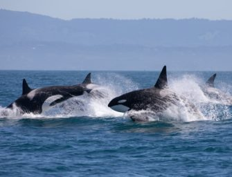 Orcas greifen Boote in Spanien an