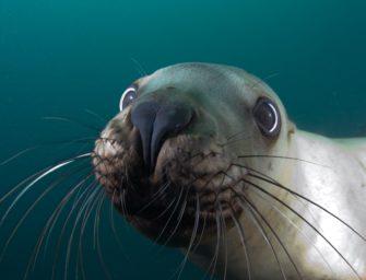 Wozu haben Robben eigentlich Schnurrhaare?