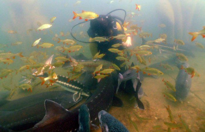 Tauchgang im Teich: Schwärmerei. Fische im Tauchpark. Foto: NaturaGart