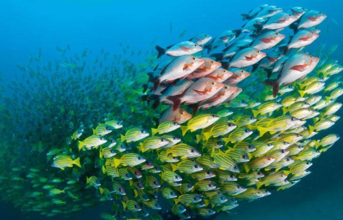 Die Sinnfrage: Fische nutzen zur Organisation im Schwarm sowohl ihren Sehsinn als auch das Seitenlinienorgan. Welcher Sinn überwiegt, scheint von Art zu Art verschieden. Foto: Martin Strmiska.