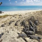 """Zwischen November und März kommen – sobald es dunkel ist – hunderte von Meeresschildkröten zur Eiablage an Land. Bereits acht Wochen später schlüpfen die Mini-Turtles und machen sich auf den Weg ins Meer. Unter Aufsicht eines Rangers können Touristen das Spektakel aus nächster Nähe beobachten. Ein besonderer Ort zum """"Turtle-Watching"""" ist die Region rund um Mon Repos bei Bundaberg. Die Stadt liegt etwa vier Autostunden nördlich von Brisbane. Mon Repos gehört zu den größten """"Loggerhead Turtle""""- Brutstätten des Südpazifiks. Weitere Schauplätze für das Nisten von Schildkröten sind Town of 1770/ Agnes Water sowie die Inseln Heron, Lady Musgrave und Lady Elliot Island."""