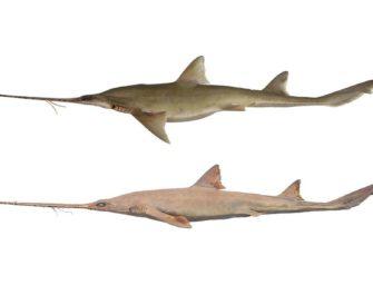 2 neue Haiarten entdeckt!