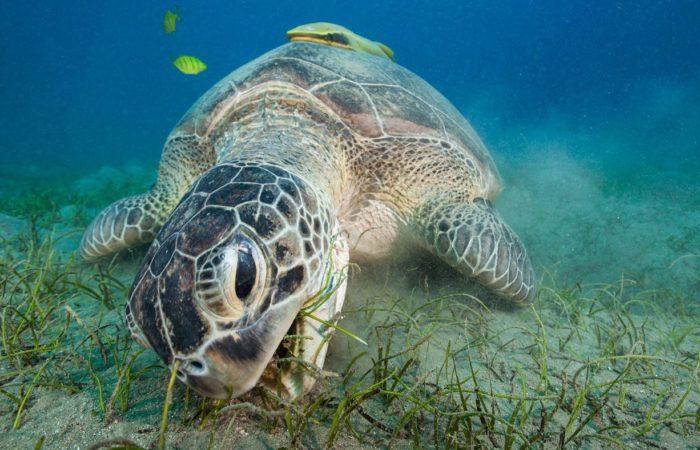 Obligat: Die Seegraswiese von Abu Dabab hat sich erholt und ist wieder Heimstatt für Schildkröten, Dugongs und Gitarrenrochen.
