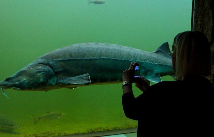 Wer nicht abtauchen will oder darf, kann die Stars des Unterwasserparks, die Störe, hinter Glas bewundern. Foto: Udo Kefrig