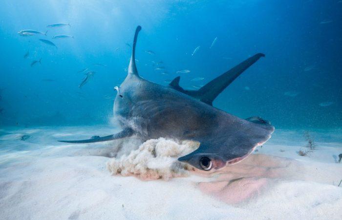 Mit Hilfe der Lorenzinischen Ampullen können Haie auch im Sand verborgene Beute orten.