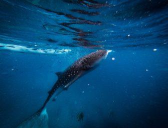 Walhaien wachsen neue Flossen