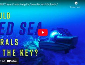 Können diese Korallen die Riffe der Welt retten?