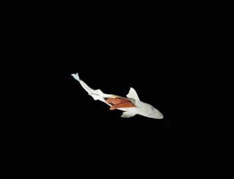 Squalen – Wenn es Haien an die Leber geht