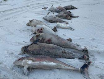 Über 100 tote Schweinswale in den Niederlanden angeschwemmt – Ist erneut das Militär schuld?